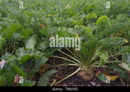 Zuckerrohr, Zuckerrüben, Rote Beete, Zuckerrüben (Beta vulgaris var. Altissima), roten Rüben auf dem Feld, Deutschland, Bayern - Stockfoto