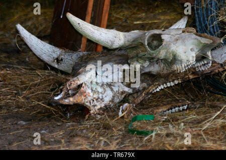 Taurus Rinder (Bos primigenius f. Taurus), Schädel, Deutschland - Stockfoto