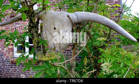Inländische Rinder (Bos primigenius f. Taurus), Demeter Bauernhof, Schädel einer Kuh auf einem Busch, Deutschland - Stockfoto