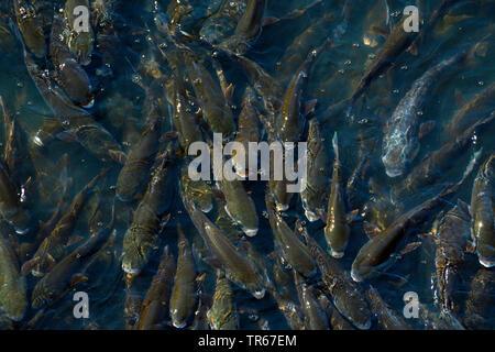 Prächtig Tausende Fische; nach Luft ringend; Rio Douro; Porto, Portugal &NS_89
