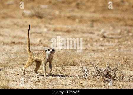Erdmännchen, schlanke-tailed Erdmännchen (Suricata suricatta), stehend in der Savanne, Südafrika, Kgalagadi Transfrontier National Park - Stockfoto