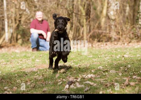 Flat Coated Retriever (Canis lupus f. familiaris), mit Stock in den Mund laufen Welpen in einer Wiese, Deutschland - Stockfoto