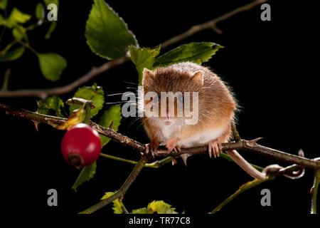 Alte Welt Ernte Maus (Micromys Minutus), Nahrungssuche in einem Hund Rosenbusch, Niederlande - Stockfoto
