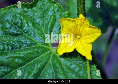 Gurken Pflanzen, Blätter und Blüten am Stiel, Nahaufnahme, Detail Ansicht von oben, sanft verschwommenen Hintergrund - Stockfoto
