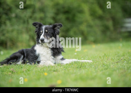 Grenze collioe Hund - Stockfoto