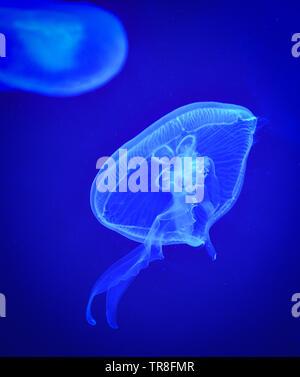Meer Ohrenquallen blau Schwimmen Unterwasserwelt Unterwasser ocean auf dunklem Hintergrund Stockfoto