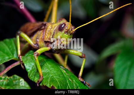 Blue-winged Grasshopper (Erwachsener) - Tropidacris collaris - Stockfoto