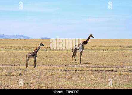 Masai Masai Giraffe Giraffa Camelopardalis tippelskirchii Mutter und kleinen Jungen Kalb Ebenen der Masai Mara National Reserve Kenia Ostafrika