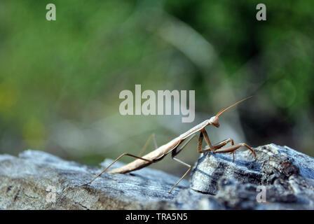 Europäische Gottesanbeterin (Mantis Religiosa) Weibliche auf rauhen Holz- grauer Hintergrund, weiche Verschwommene grüne Gras Hintergrund - Stockfoto