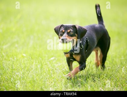 Ein verspielter schwarze und rote Dackel Mischling Hund mit einem Ball im Maul - Stockfoto