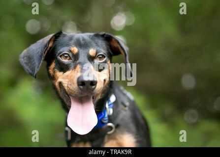 Eine schwarze und rote Dackel Mischling Hund mit seiner Zunge heraus, keuchend und einen glücklichen Ausdruck - Stockfoto