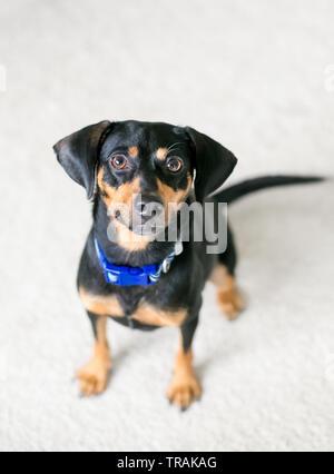 Ein roter und schwarzer Dackel Mischling Hund sitzen und sah in die Kamera - Stockfoto