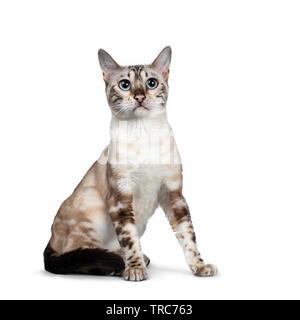 Cute Snow Bengal kitten, sitzt seitlich nach vorne. Nach oben Kamera mit hellblauen Augen. Auf weissem Hintergrund. Schwanz um b - Stockfoto