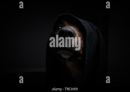 Hund mit schwarzer Kappe und schwarzen Hintergrund ins Studio - Stockfoto