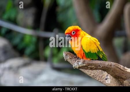 Die sonne Sittich schönen Farben von gelb, orange und rot (Aratinga solstitialis), auch bekannt als die Sonne Sittiche in Südamerika in einem Baum gehockt. - Stockfoto