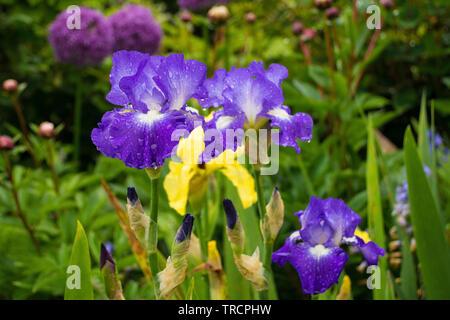 Blaue und weiße Schwertlilien wachsen in einem Garten im Nordosten Italiens. Die Blüten sind feucht vom letzten Regen. Eine gelbe Iris und ein lila Allium können gesehen werden - Stockfoto