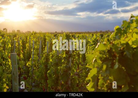 Hintergrundbeleuchtung Reben am Weingut in Mendoza, Argentinien - Stockfoto