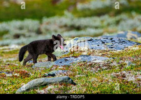 Polarfuchs, polar Fox (Alopex lagopus, Vulpes lagopus), Fox Cub Roaming über das Fjell, Norwegen - Stockfoto