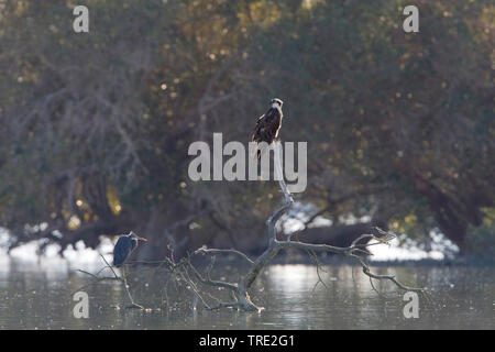 Osprey, Fisch Hawk (Pandion haliaetus) und Graureiher auf Ausblick, Iran - Stockfoto