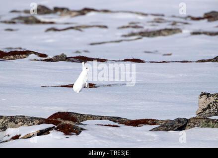 Blauer Hase, Hase, weissen Hasen, eurasischen Arktis Hase (Lepus timidus), im Schnee im Winter Fell, Europa - Stockfoto