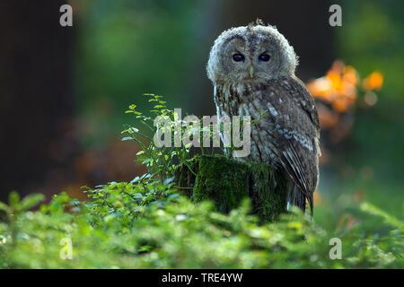 Wald-Kauz, Waldkauz (Strix aluco), sitzt auf einem Baumstumpf, Tschechien | Eurasischen Waldkauz (Strix aluco), sitzend auf einem Baumstumpf, Tschechische Republik | BLW - Stockfoto
