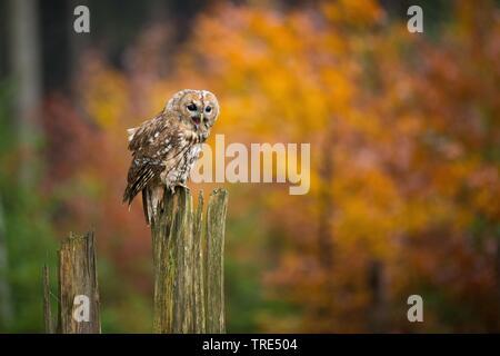 Wald-Kauz, Waldkauz (Strix aluco), sitzt in einem Profibus, Tschechien | Eurasischen Waldkauz (Strix aluco), sitzend auf einem Post, Tschechische Republik | BLWS 517 - Stockfoto