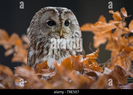 Wald-Kauz, Waldkauz (Strix aluco), sitzt auf einem Ast im Herbst, Tschechien | Eurasischen Waldkauz (Strix aluco), sitzend auf einem Zweig im Herbst, Tschechische - Stockfoto