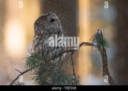 Wald-Kauz, Waldkauz (Strix aluco), sitzt auf einem Ast bei Schneefall, Tschechien | Eurasischen Waldkauz (Strix aluco), hocken auf einem Zweig im Schnee - Stockfoto