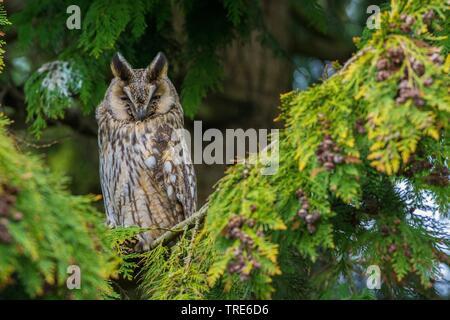 , Waldohr-Eule Waldohreule (Asio otus), sitzt auf einem Baum, Niederlande, Nordholland | Waldohreule (Asio otus), auf einem Baum, Niederlande sitzen, Keine - Stockfoto
