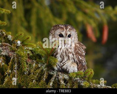 , Waldohr-Eule Waldohreule (Asio otus), sitzt im Winter auf einem fichtenast, Tschechien | Waldohreule (Asio otus), sitzend auf einem Schnee - Fichte abgedeckt - Stockfoto
