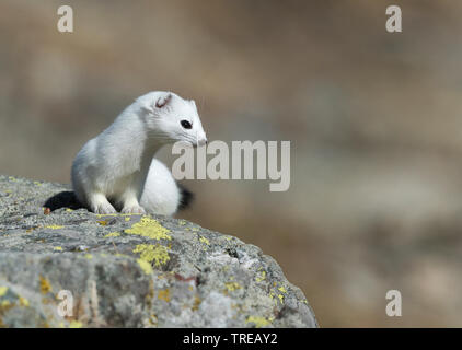 Hermelin Hermelin, Short-tailed weasel (Mustela erminea), im Winter Fell auf einem Felsen sitzend, Italien - Stockfoto
