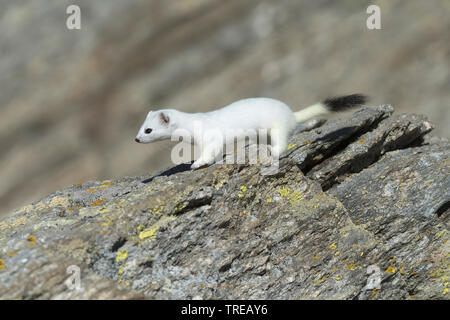 Hermelin Hermelin, Short-tailed weasel (Mustela erminea), stehen im Winter Fell auf einem Felsen, Seitenansicht, Italien - Stockfoto