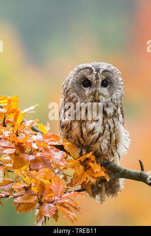Wald-Kauz, Waldkauz (Strix aluco), sitzt in einem Herbstzweig, Tschechien | Eurasischen Waldkauz (Strix aluco), sitzend auf einem Zweig im Herbst, der Tschechischen Re - Stockfoto