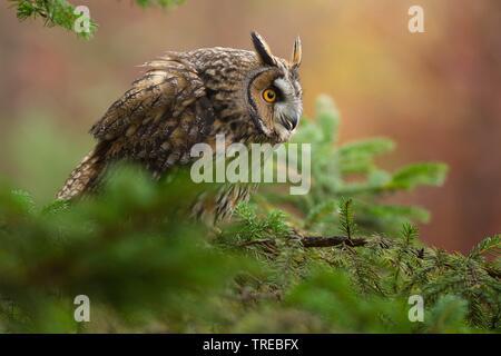 , Waldohr-Eule Waldohreule (Asio otus), sitzt auf einem fichtenast, Tschechien | Waldohreule (Asio otus), sitzt auf einem Ast, Tschechische Republik | BLWS - Stockfoto