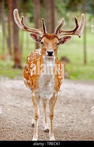 Sika deer, Tame sika Hirsche, zahmen Hirsch (Cervus Nippon), Hirsch im Sommer Fell, Vorderansicht, Deutschland - Stockfoto
