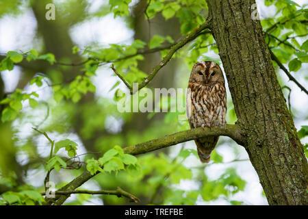 Wald-Kauz, Waldkauz (Strix aluco), sitzt in einem Baum, Deutschland, Bayern | Eurasischen Waldkauz (Strix aluco), sitzt auf einem Baum, Deutschland, Bayern | BLW - Stockfoto