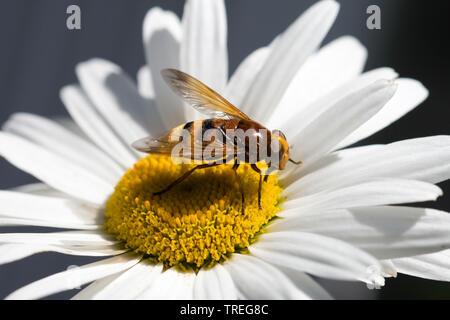 Hornet nachahmen Hoverfly (Volucella Volucella zonaria, Zonalis), auf einem Daisy, Niederlande - Stockfoto