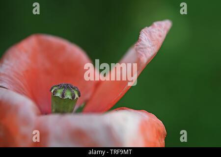 In der Nähe des Herzen von einem roten Mohn gegen die grüne Wiese Hintergrund - Stockfoto