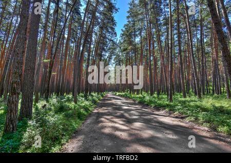 Angenehme Frische im Sommer Spaziergang im Pinienwald am sonnigen Tag, einen Weg unter den hohen, gerade und kraftvoll Trunks aus Pinien, cool und heilende Luft fo - Stockfoto