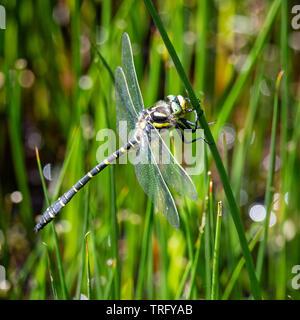 Golden dragonfly Cordulegaster boltonii beringt in Ruhe auf ein Rohr Stammzellen im Bin Coombe auf Exmoor Somerset UK - Stockfoto
