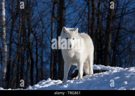 Portrait eines einsamen Arctic Wolf stehend auf einer Felsenklippe über seinem Hoheitsgebiet im Winter in Kanada suchen - Stockfoto