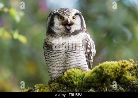 Northern Hawk Owl-Surnia ulula - kreischende mit offenem Schnabel - von in Gefangenschaft gehaltenen Vögeln an strathblane Falknerei, Schottland, Großbritannien - Stockfoto