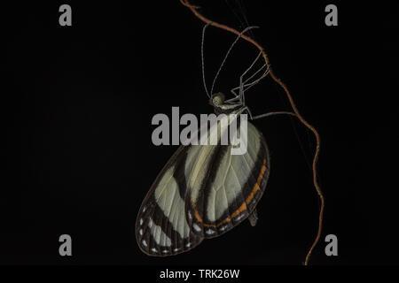 Eine lange Flügel Schmetterling in der Gattung Heliconius thront auf die Vegetation in der Nacht in den Amazonas Dschungel, in Ecuador. - Stockfoto