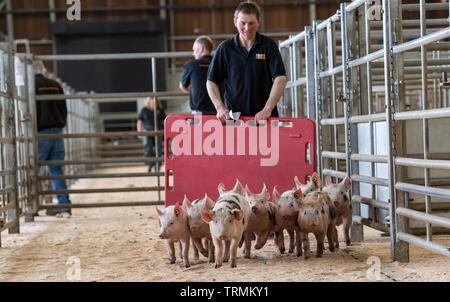 Drover Verschieben einer Packung mit abgesetzten Ferkeln zu einem Vieh Auktion Mart. Cumbria, Großbritannien. - Stockfoto