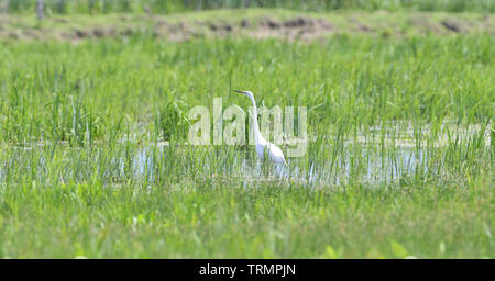 Heron lauern für Fische in einer Wiese in Marsh - Stockfoto