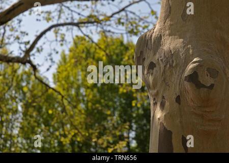 Stamm einer Platane, Platanus, in öffentlichen Park mit Rinde teilweise von Geschälten - Stockfoto