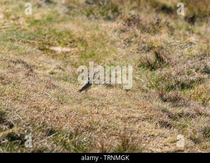Feldlerche (Alauda arvensis) Purched auf dem Boden, Heu Bluff Heu Wye Powys Wales UK. März 2019. - Stockfoto