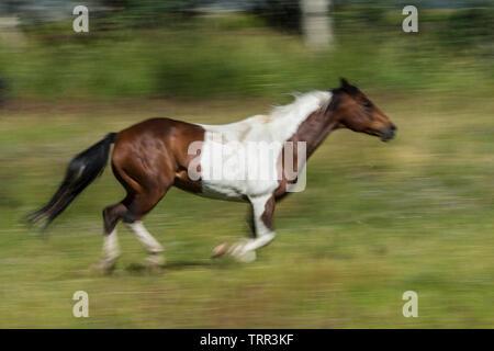 Absaroka Ranch, Wyoming; Betreuung der Pferde am Morgen, bringen Sie zum Corral. Ranch in Wyoming. - Stockfoto