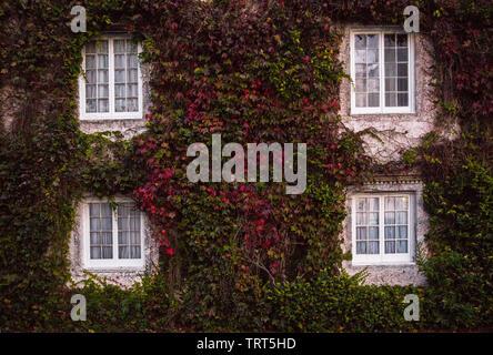 Gebäude mit Efeu mit grünen und roten Blätter wachsen an der Wand. Zwei Etagen, vier Fenster. Ökologie und Grünes Wohnen in der Stadt, städtische Umwelt Konzept - Stockfoto