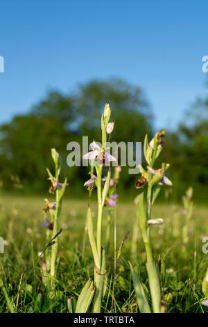 In der Nähe von Boden aus Sicht der Wildflower Bienen-ragwurz, Orchideen, wachsen in der Wiese - Stockfoto
